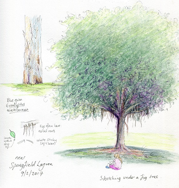 Flooded gums, a fig and cicadas – nature studies at Springfield