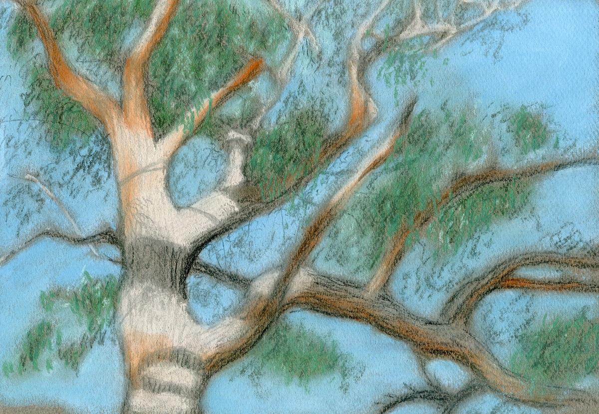 Tallowwood forest