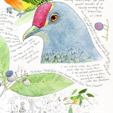 Rose-crowned fruit dove – nature study