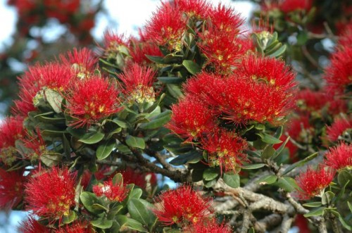kiwixmastree