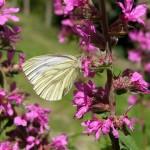 Blutweiderich mit Schmetterling