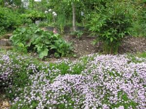 Bodendecker Thymian aus dem Paradiesgarten