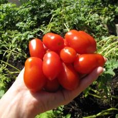 Tomatenvielfalt und Kartoffeln