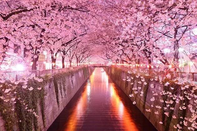 tree tunnels Sakura Tunnel, Japan
