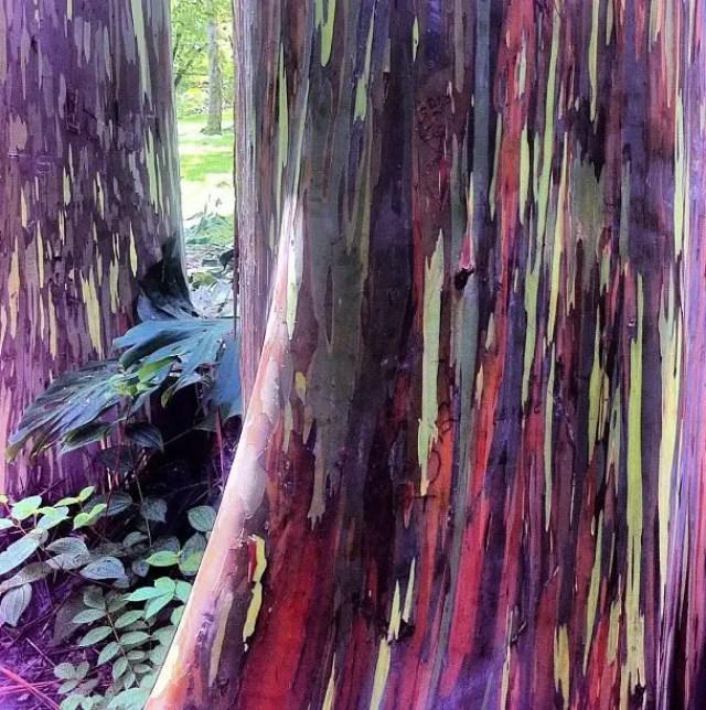 regenboog eucalyptus12