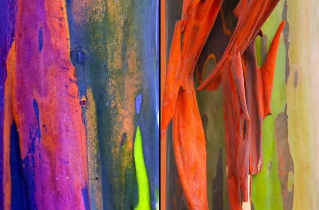 regenboog eucalyptus9