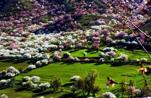 abrikozen-bloesem2