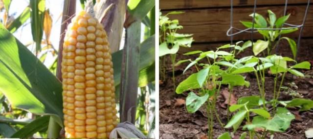 corn-beans-companion-plants-2