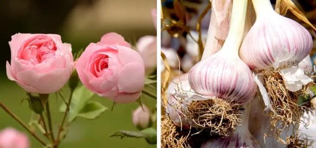 roses-garlic-companion-plants-4