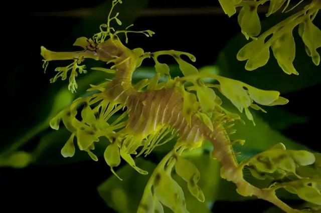 Camouflagedieren 1 - Glauert's Seadragon