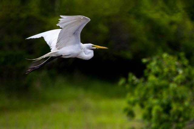 great-egret-1501508301yFg