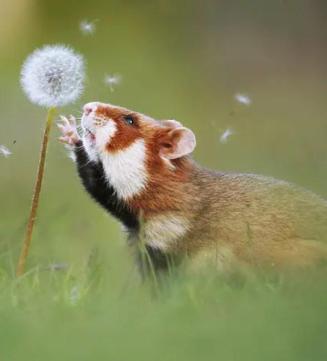 Het intrigerende leven van wilde hamsters