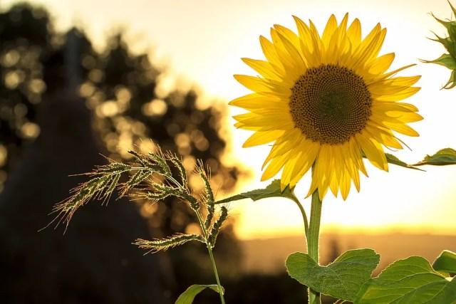 verwondering - Sunflower