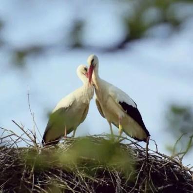 Liefdesverhaal van een ooievaar die elk jaar duizenden kilometers vliegt