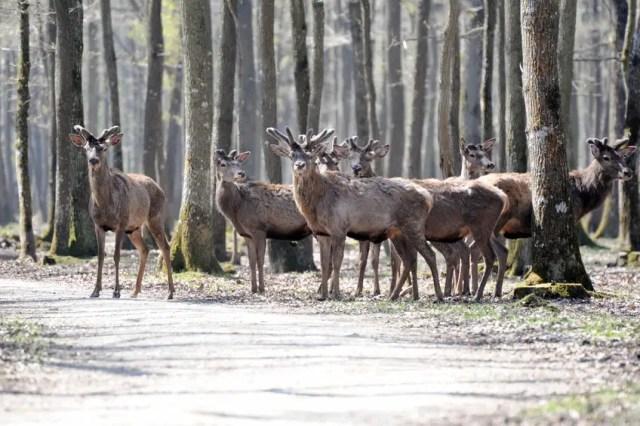 81117786 - deer