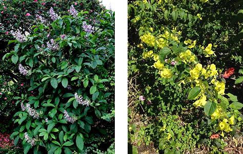 Rothea serrata (left), Holmskioldia sanguinea lutea