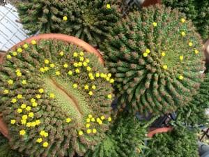 Euphorbia caput-medusae - Medusa's Head
