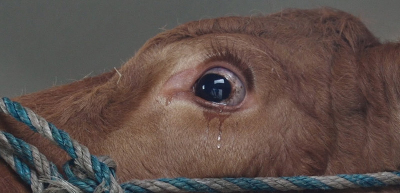 cow-crying