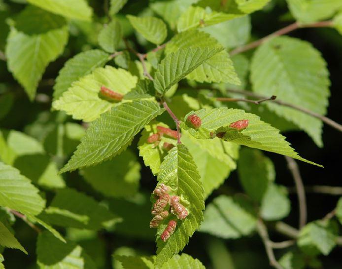 Risultati immagini per aphid elm galls