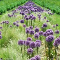 Graminées et Allium