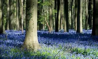 forêt magique d'Hallerbos