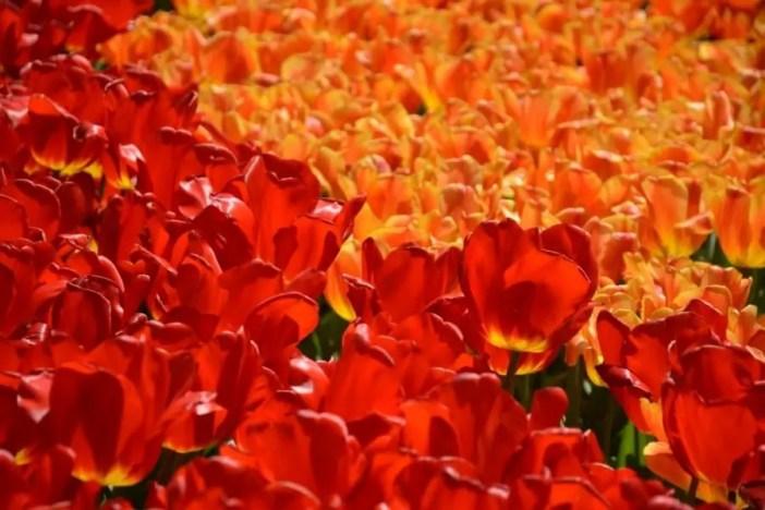 Découvrez plus beau parc printanier du monde : Kukenhof aux Pays-Bas !kukenhof,paysbas,holland,fleur, tulipe,parc,parcprintanier,famille,sortie,promenade,canaux,moulinthumb_DSC_0159_1024