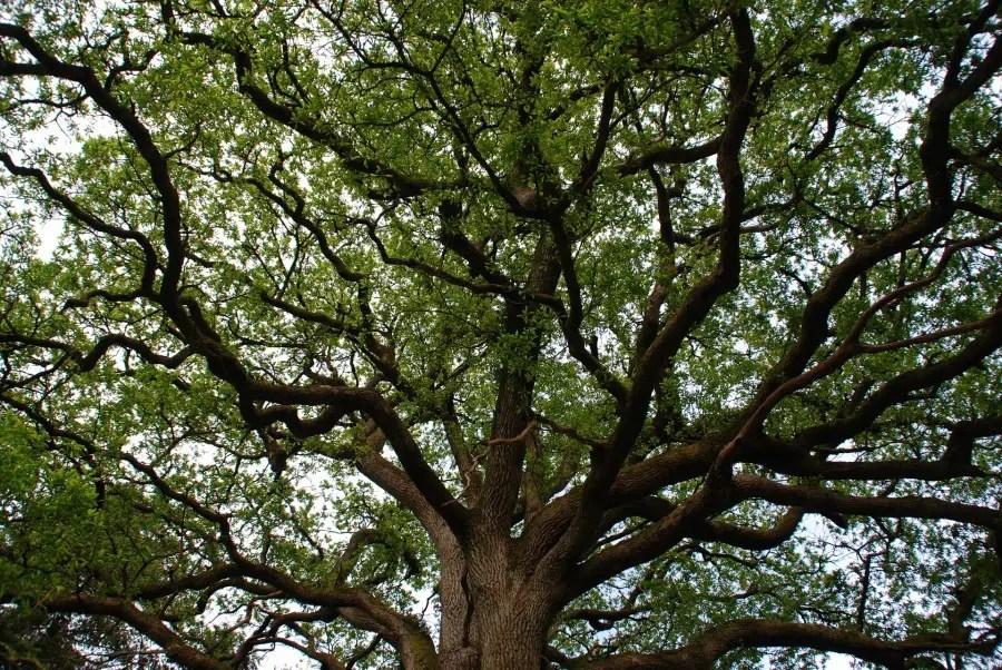 arbre de Brocéliande
