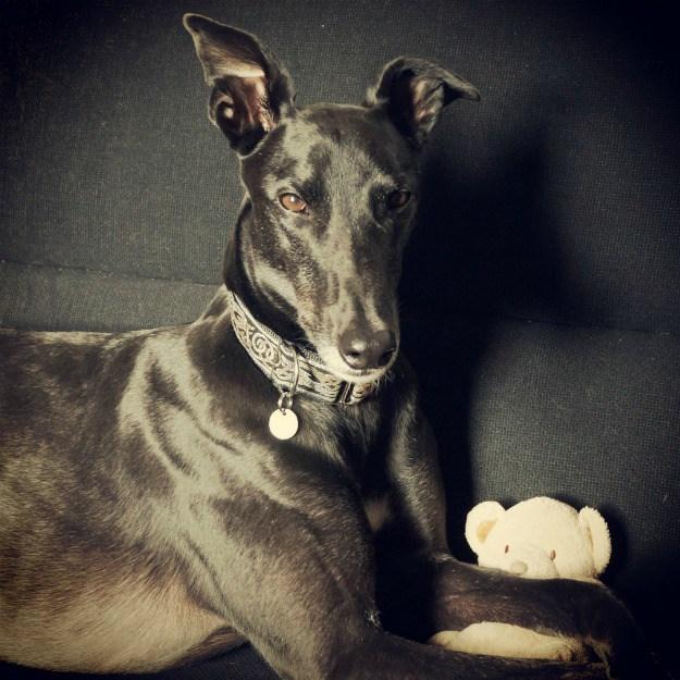 retired-greyhound-black