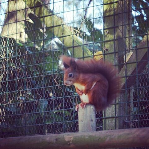 Such a joy watching @kelling_heath 's pair of Red Squirrels who have successfully bred kittens (baby squirrels not baby cats kids) used in licensed release projects here in Norfolk. This one paused for ages to listen to us but for the most part they were whizzing round their enclosure performing all kinds of amazing gymnastic feats on the runs and ropes. The male is 10 and sadly possibly past breeding age, squirrels normally only live to 6, or maybe 8 in captivity, so he's done well. Hope Mr A and I are still as energetic in our old age! We've all had a fab morning riding bikes round the site, seen the sea, made prints and now it's time to eat veggie pie at the pub #KellingMoments