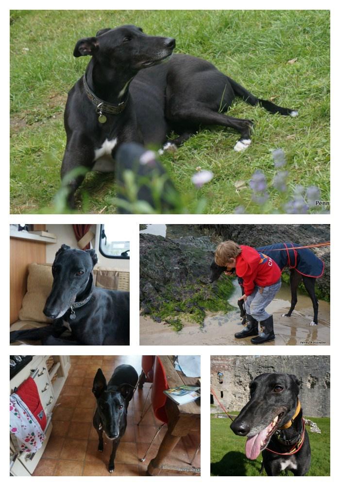 retired-greyhound