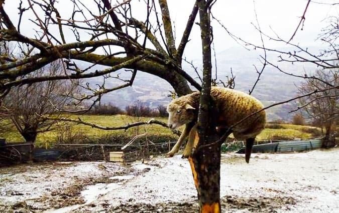 Toh! Una pecora sull'albero