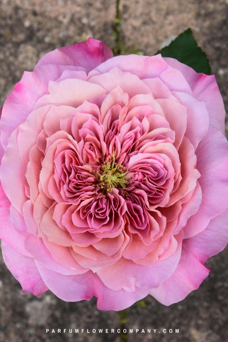 Wabara Miyabi Japanese Garden Roses Parfum Flower Company