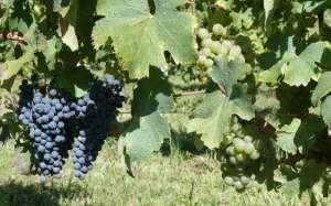 Buzet (47): le vignoble expérimental New Age planté dès ce printemps - Sud Ouest.fr