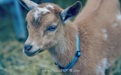 My Sweet Goats