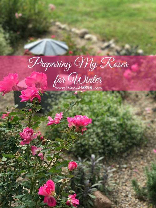 Preparing my Roses for Winter