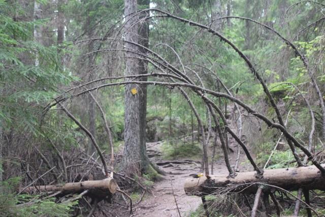 nuuksio arbres penches