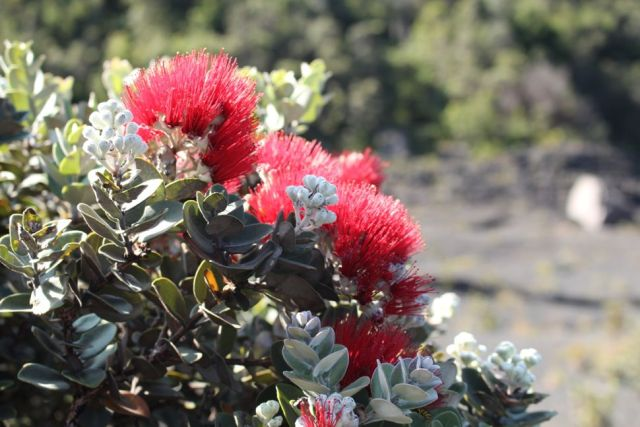 Ohi'a - Kilauea Iki Crater