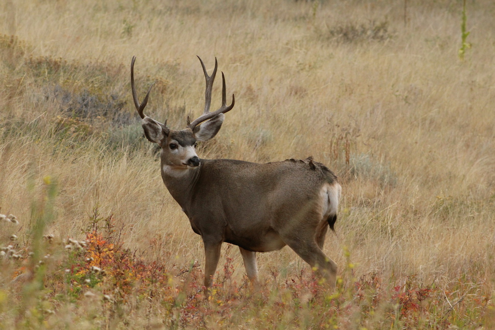 White-tale buck in fall at Grand Teton National Park