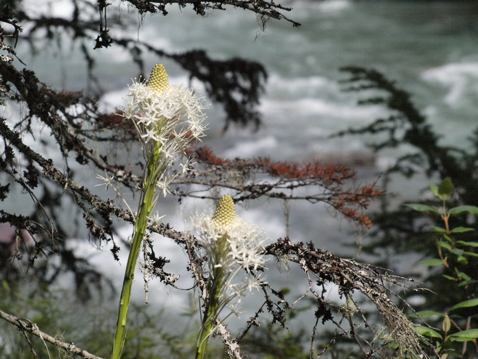 Bear Grass - Avalanche Lake Trail - Glacier National Park