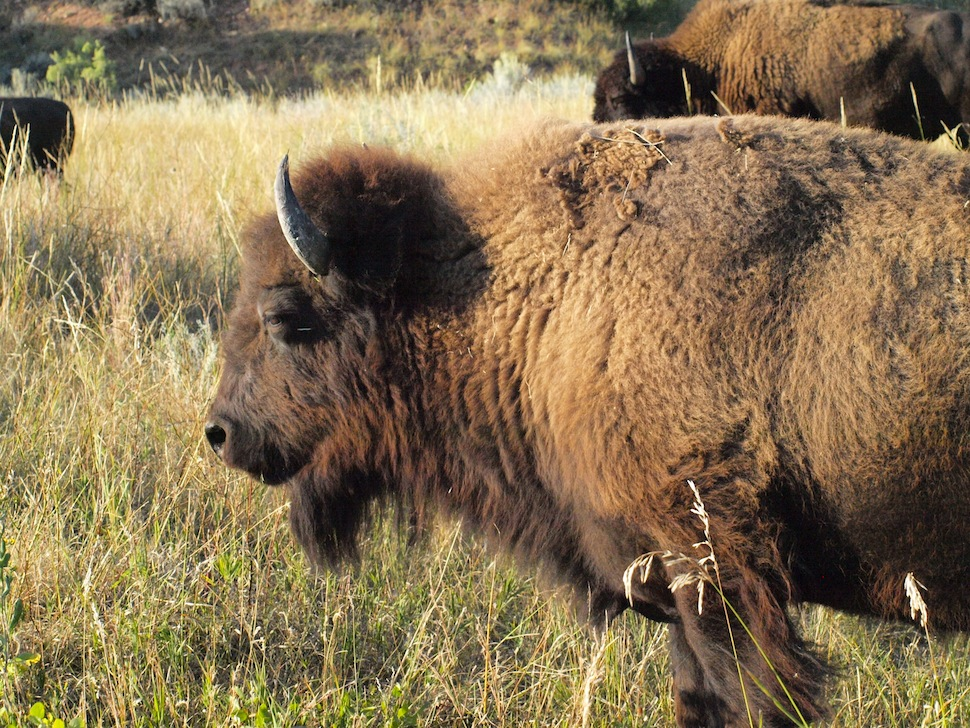 Theodore Roosevelt National Park is home to excellent bison viewing.