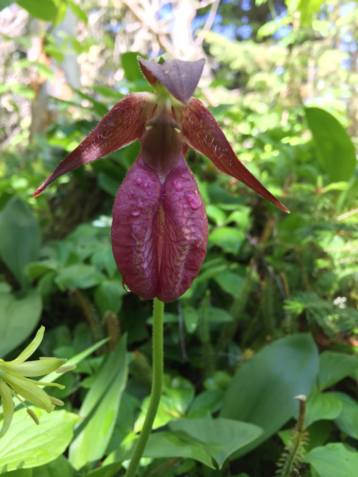 Lady Slipper Isle Royale National Park