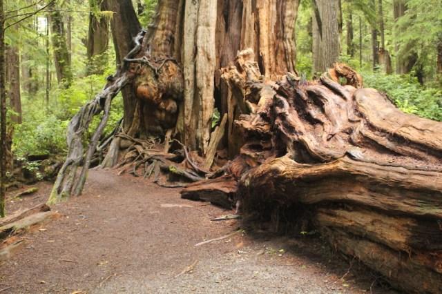 Giant Cedar - Olympic National Park