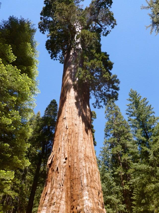 Sequoia in Sequoia National Park