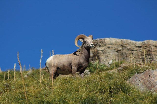 Big Horn Sheep at Haystack Pass