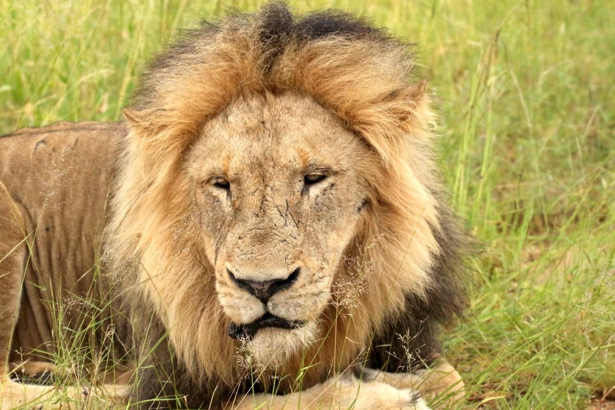 Male Lion - Kambaku Safari Lodge