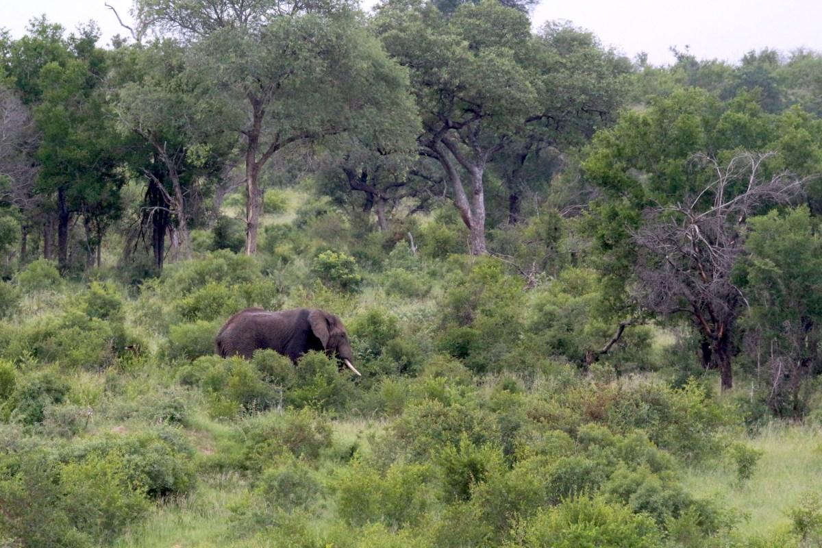 Male Elephant - Kruger National Park