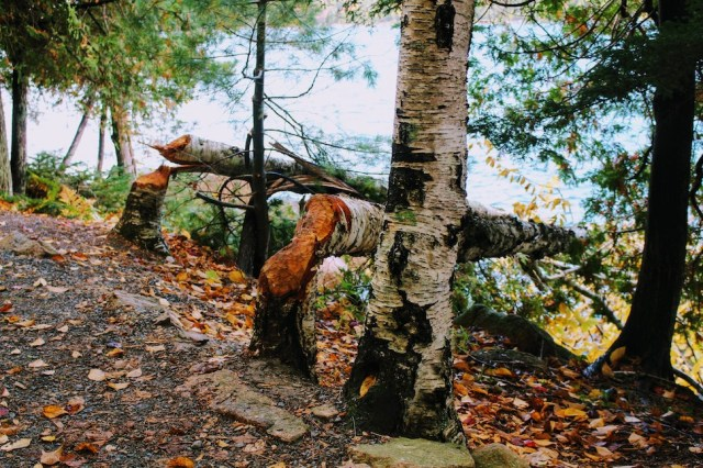 Trees cut down by a beaver in Acadia National Park