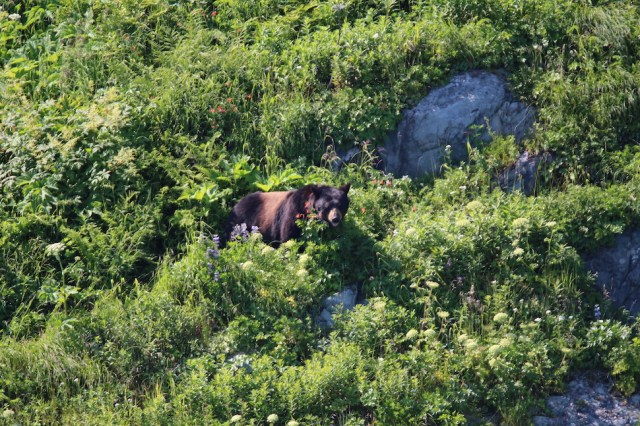 Bear seen from Kenai Fjords Boat Tour