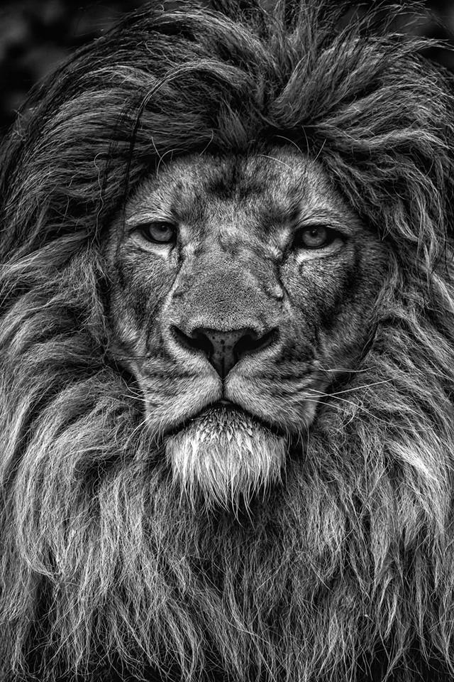 Male Lion - Brandon Cunningham