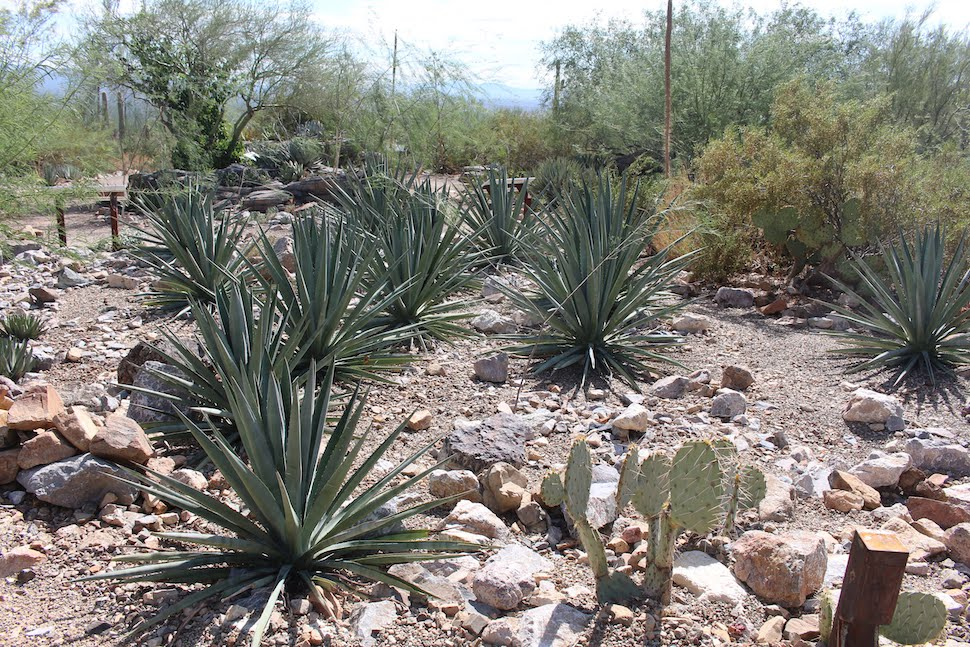 Agave Garden Arizona-Sonora Desert Museum